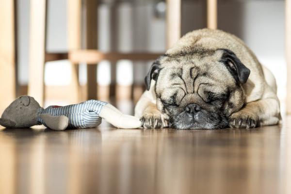 Perro solo en casa - duerme