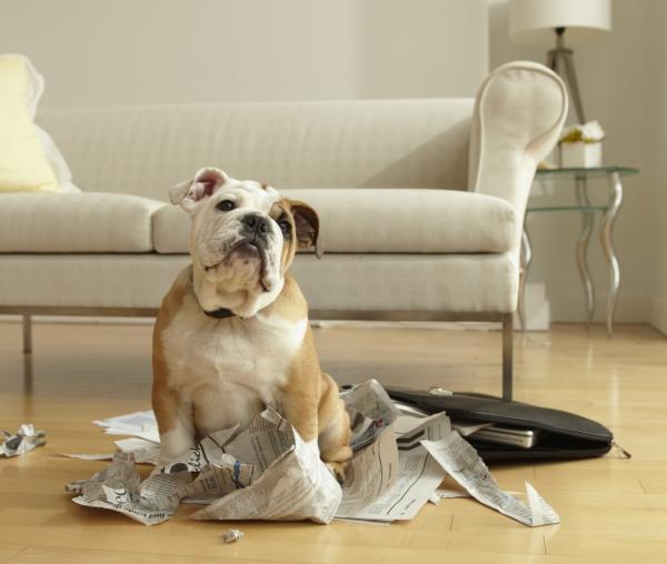 Perro solo en casa - hace travesuras