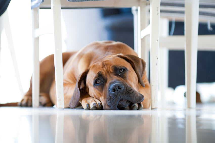 Perro solo en casa - se pone triste