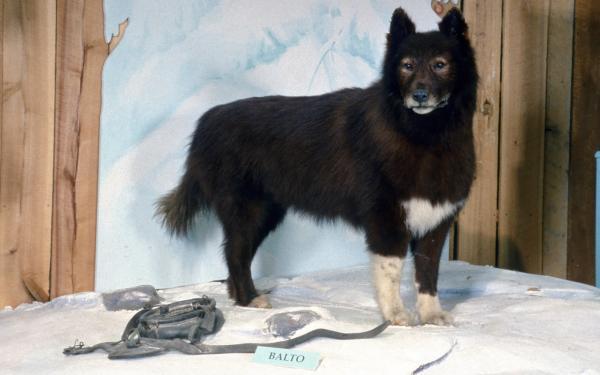 Balto - Perro famoso - Patasbox