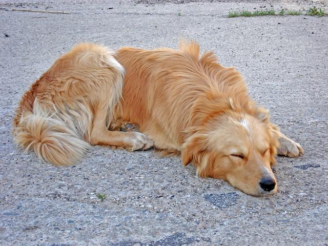 perro_durmiendo_panzabajo_patasbox