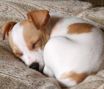 perro_durmiendo_acurrucado_patasbox